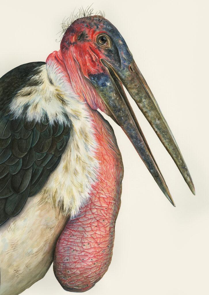 Marabou Stork by Sami Bayly